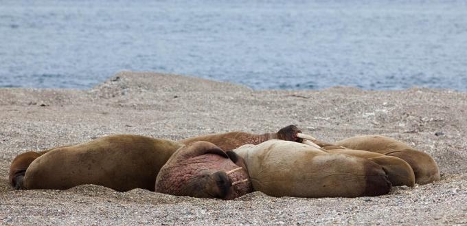 walrus-walrus-03