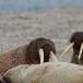 walrus-walrus-10