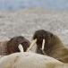 walrus-walrus-11