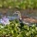 Waterfazant-Pheasant-tailed-jacana-01