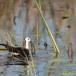 Waterfazant-Pheasant-tailed-jacana-02