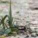 Waterfazant-Pheasant-tailed-jacana-07
