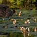 waterhoen-common-moorhen-02