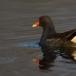 waterhoen-common-moorhen-05
