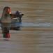waterhoen-common-moorhen-09