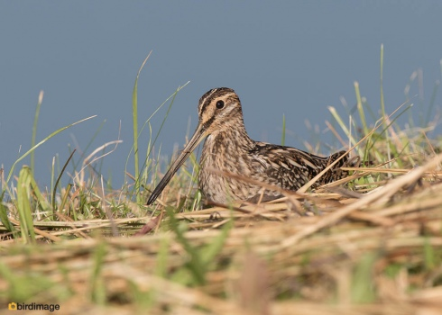 Watersnip - Common Snipe 32