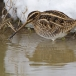 watersnip-common-snipe-03