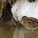 watersnip-common-snipe-04