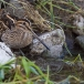 watersnip-common-snipe-08