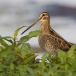 watersnip-common-snipe-11