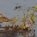 watersnip-common-snipe-18