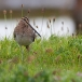 watersnip-common-snipe-19