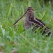 watersnip-common-snipe-22