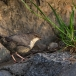 waterspreeuw-white-throated-dipper-06