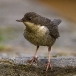 Waterspreeuw  – White-throated Dipper
