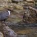 waterspreeuw-white-throated-dipper-10