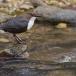 waterspreeuw-white-throated-dipper-11