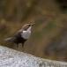 waterspreeuw-white-throated-dipper-14