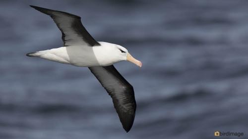 Wenkbrauwalbatros_Black-browed Albatross 02