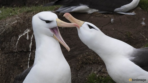 Wenkbrauwalbatros_Black-browed Albatross 10