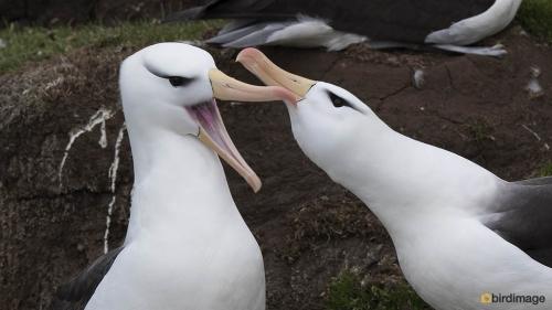 Wenkbrauwalbatros_Black-browed Albatross 10