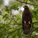 wespendief-honey-buzzard-01