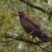 wespendief-honey-buzzard-02