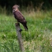 wespendief-honey-buzzard-03