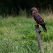 wespendief-honey-buzzard-04