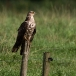 wespendief-honey-buzzard-05