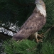 wespendief-honey-buzzard-08