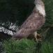 wespendief-honey-buzzard-08