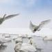 Wilde zwaan -  Whooper Swan  30