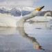 Wilde zwaan -  Whooper Swan  31