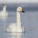 Wilde zwaan -  Whooper Swan  34