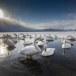 Wilde zwaan -  Whooper Swan  36