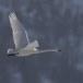 Wilde zwaan -  Whooper Swan  38