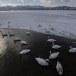 Wilde zwaan -  Whooper Swan  41