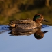 wintertaling-common-teal-01