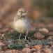 witbandleeuwerik-greater-hoopoe-lark-06