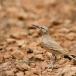 witbandleeuwerik-greater-hoopoe-lark-10
