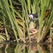 witborstwaterhoen-white-breasted-waterhen-04