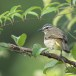 Witbrauwbuulbuul-White-browed-bulbul-03