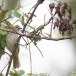 Witbrauwbuulbuul-White-browed-bulbul-05