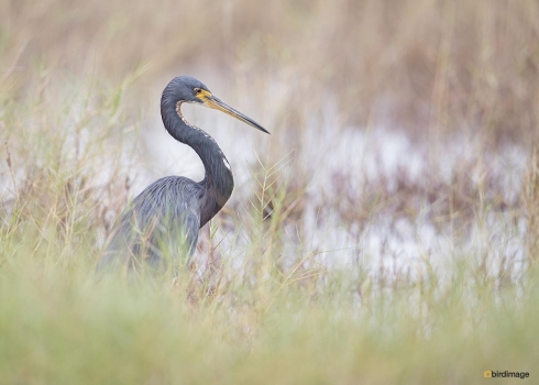 Witbuikreiger - Tricolored heron 010