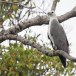 Witbuikzeearend-White-bellied-Sea-Eagle-01