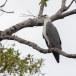 Witbuikzeearend-White-bellied-Sea-Eagle-02