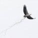 Witbuikzeearend-White-bellied-Sea-Eagle-04