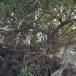 Witbuikzeearend-White-bellied-Sea-Eagle-05