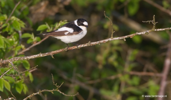 withalsvliegenvanger-collared-flycatcher-02
